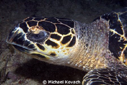 Hawksbill Turtle on the First Reef off the Fort Lauderdal... by Michael Kovach 